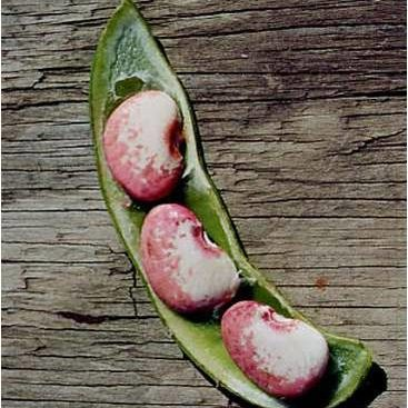 Potawatomi Lima Beans